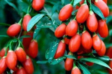 Наше знакомство с ягодами годжи. Экзотическое удовольствие